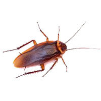 American cockroach control at Batzner Pest Control in Wisconsin - Serving New Berlin, Green Bay, Milwaukee, Madison, Racine and surrounding areas
