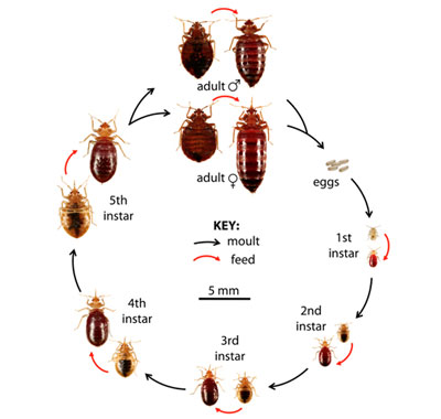 Bed bug life cycle diagram including adult and instar level
