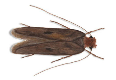 Clothes moth - Moth extermination and control services in Wisconsin by Batzner Pest Control