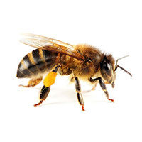 Honey bee control at Batzner Pest Control in Wisconsin - Serving New Berlin, Green Bay, Milwaukee, Madison, Racine and surrounding areas