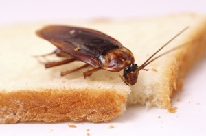 Cockroaches can contaminate food - Expert cockroach extermination, control, and removal services by Batzner Pest Control - Serving New Berlin, Oshkosh, Green Bay, Madison, Racine, and surrounding areas