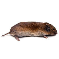 Vole identification and information from Batzner Pest Control in Wisconsin - Serving New Berlin, Green Bay, Milwaukee, Madison, Racine and surrounding areas