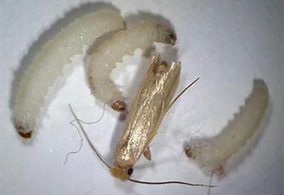 Clothes moth caterpillars - Moth extermination, control, and removal services by Batzner Pest Control in Wisconsin