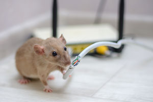 One of the many dangers of rodents is when rats chew through electrical wires. The rodent exterminators at Batzner Pest Control can protect you from rodents in New Berlin WI!