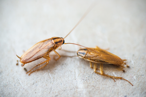 German cockroaches are one of the most common roach infestations in New Berlin WI and Oshkosh WI - Batzner Pest Control shares German cockroach facts.