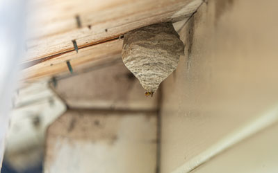 how to identify a wasp nest in Wisconsin - Batzner Pest Control