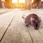 Rodents infest Wisconsin homes during the pandemic - Batzner Pest Control