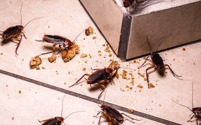 Cockroaches come out at night in Wisconsin homes - Batzner Pest Control